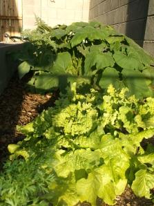 Cilantro, Lettuce, Pumpkin and Artichokes