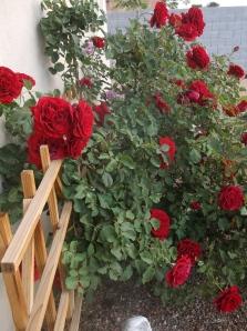 Climbing Don Juan Roses