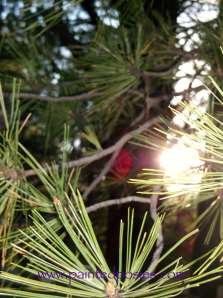 Sun Shining Through the Pines