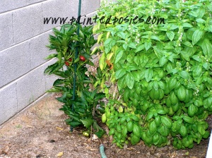 Bell Pepper and Basil Plant