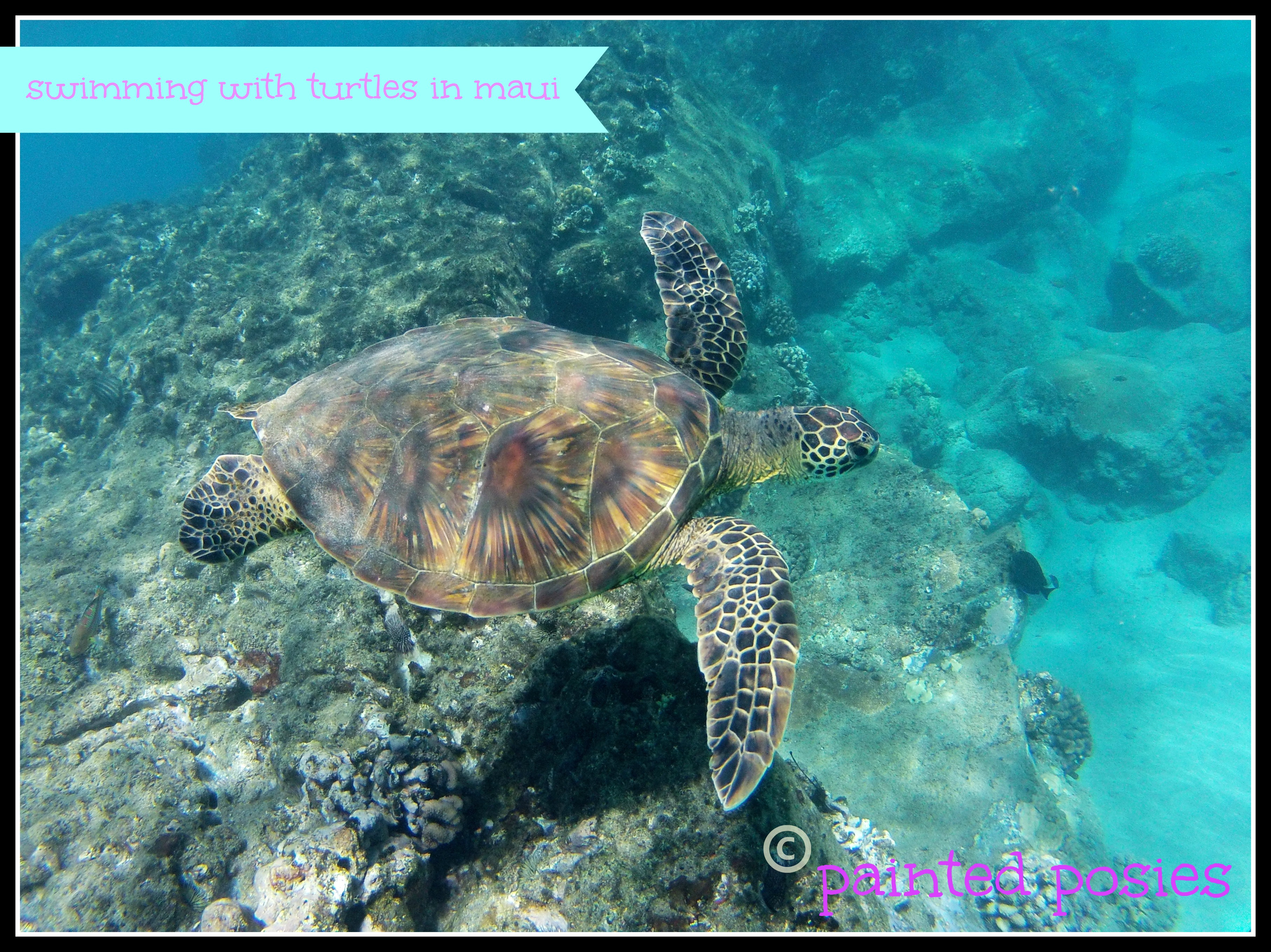 Swimming with turtles in Maui