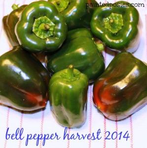 Bell Pepper Harvest 2014