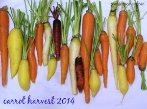 Carrot Harvest 2014