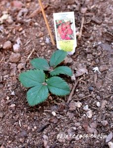 Quinalt Fragaria Strawberry Plant