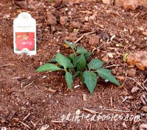Champion Tomato Plant