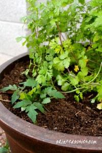 Cilantro & Tomato Plant