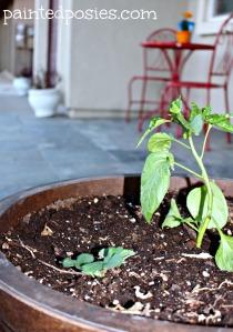 Pasilia Bajio Pepper & Strawberry Plant