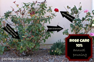 Rose Care 101 Annual Pruning