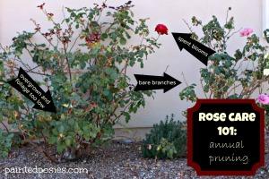 Rose Care 101 Annual Pruning
