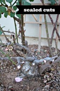 Rosebush 2014 Sealed Cuts