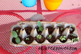 Cucumber and Cauliflower Seedlings