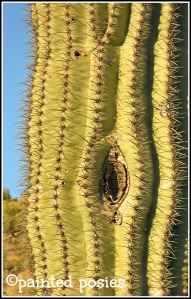 Arizona Sahuaro 2010