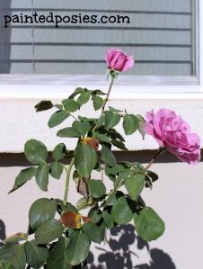 Floribunda Roses April 2014