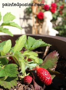 Potted Strawberry April 2014