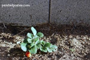 Strawberry Plant April 2014