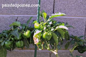 Bell Peppers May 2014