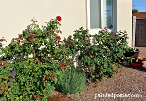 Front Yard Roses & Lavendar