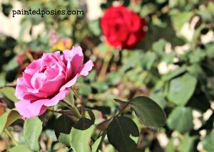 Rose Bushes May 2014