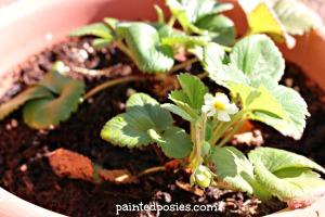 Sweet Strawberry Flower