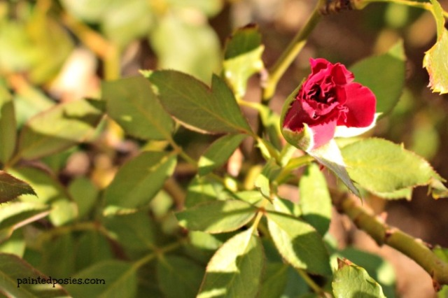 Red Climbing Rose July 2014