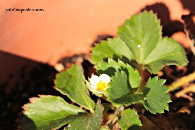 Strawberry Flower July 2014