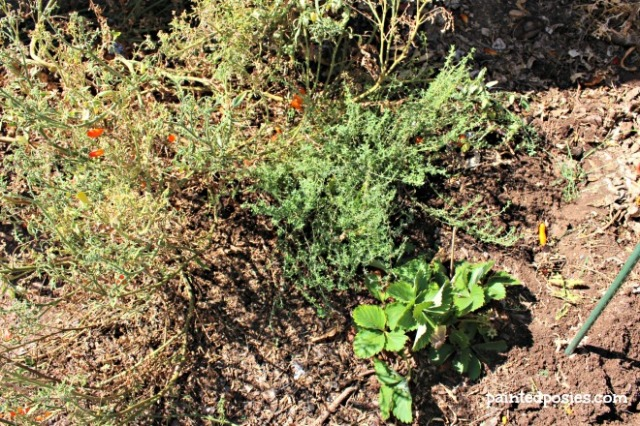 Tomatoes, Thyme and Strawberry August 2014