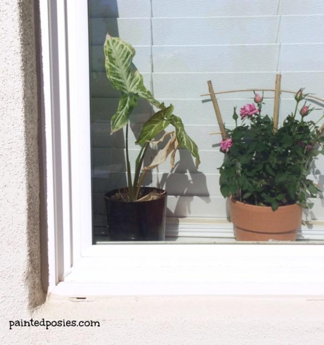 Windowsill Plants