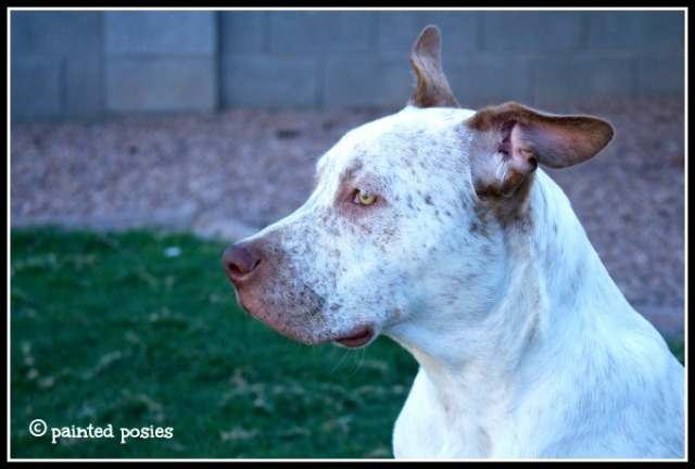 Cattle dog pit bull mix