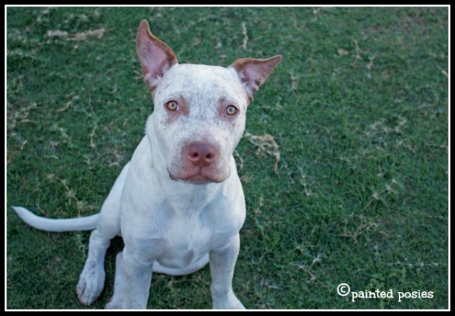 Jones, cattle dog pit bull puppy