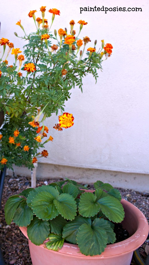 November 2014 Container Gardening Marigold and Strawberry Plants