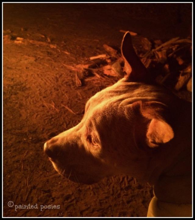 Wandering Eye Wednesday Cattle Dog Pit Bull Mix Fireside