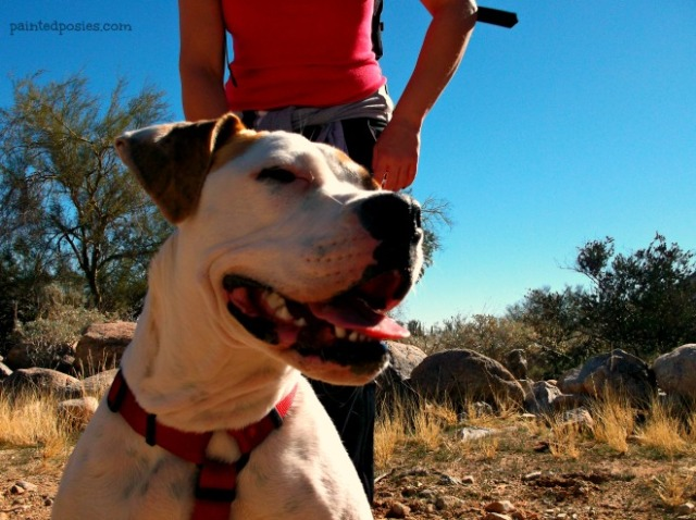 White Tank Mountains Kids Hike, Waddell Arizona, American Bull Dog