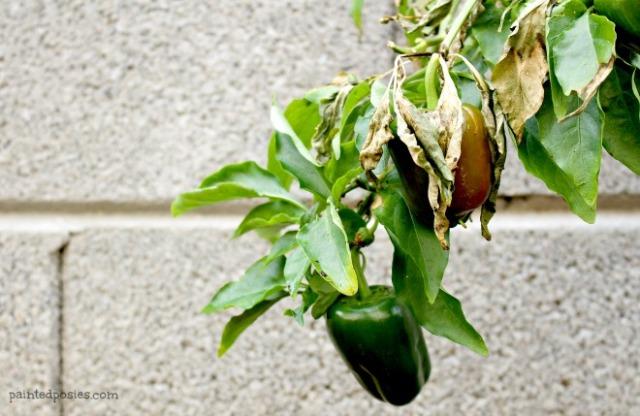 Desert Raised Bed Cinder Block Gardening February Bell Pepper