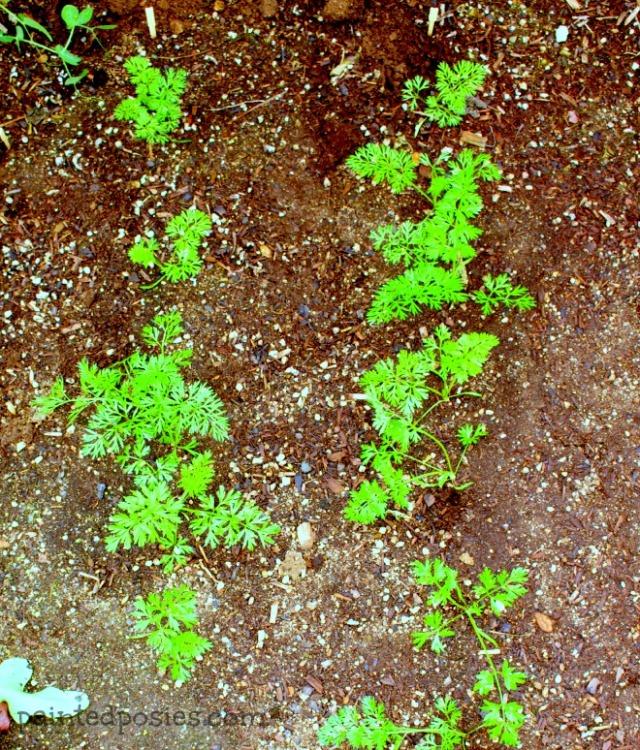 Desert Raised Bed Cinder Block Gardening February Carrots
