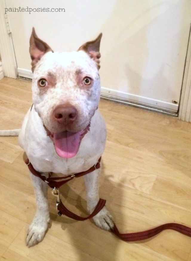 Cattle Dog Pitbull Mix