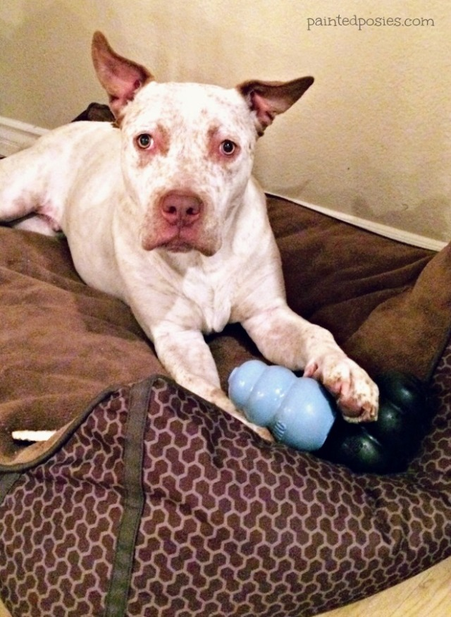Cattle Dog Mix with KONG Treat Toy