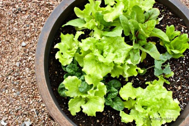 Desert Raised Bed Cinder Block Gardening February Lettuce Mix