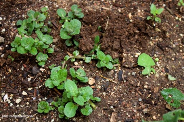Desert Raised Bed Cinder Block Gardening February Mint