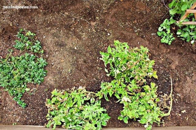 Desert Raised Bed Cinder Block Gardening February  Mint, Tomato, Sugar Snap Pea