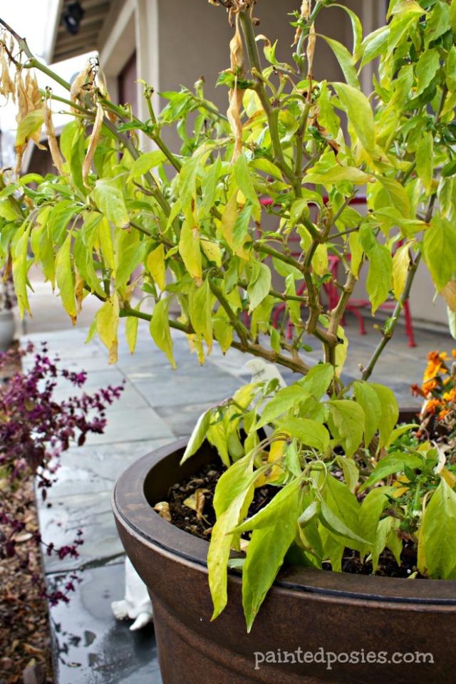 Desert Raised Bed Cinder Block Gardening February Potted Pepper