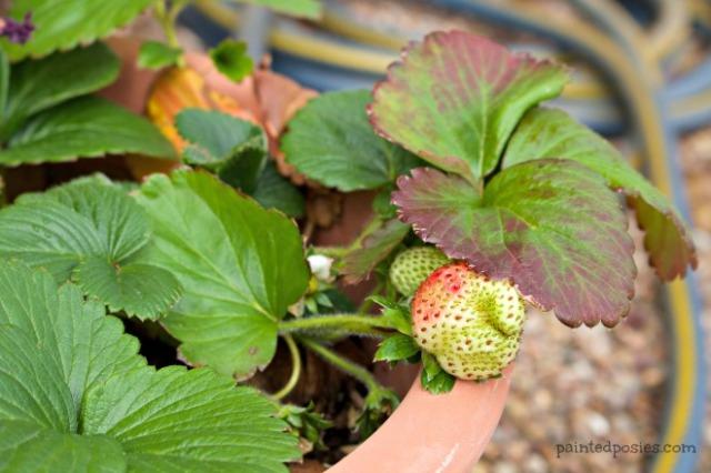 Desert Raised Bed Cinder Block Gardening February Potted Strawberry
