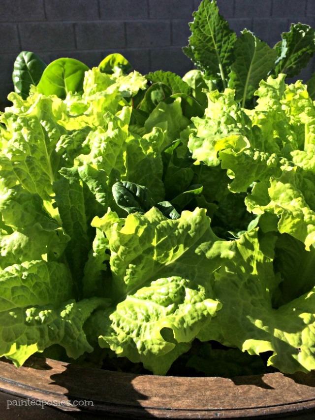 Salad Planter Desert Container Gardening