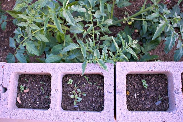 Cinder Block Garden Seedlings Desert Garden