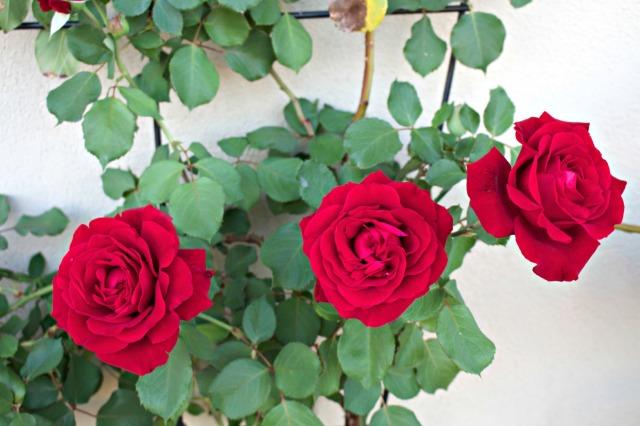Don Juan Roses Spring 2015