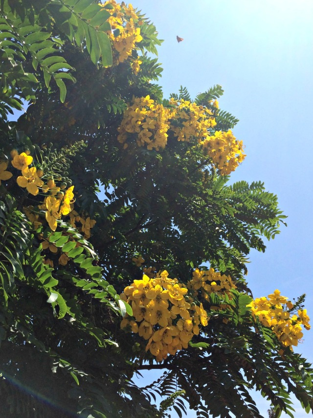 Flowered Tree Ocean Beach July 2015
